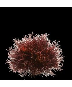 Aquatic Sea Lilies Crimson by biOrb