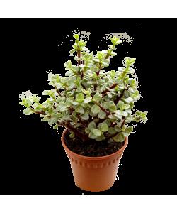 Jade Plant varigated 金枝玉叶