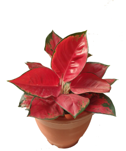 Aglaonema 'Super Red'