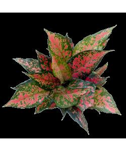 Aglaonema Hybrid