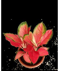 Aglaonema Red Hybrid NEW