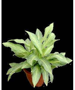Aglaonema Hybrid White