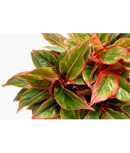 Aglaonema Siam Aurora 'Red Edge'