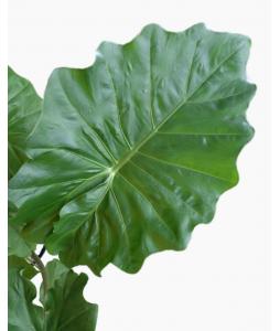 Alocasia Portodora Green