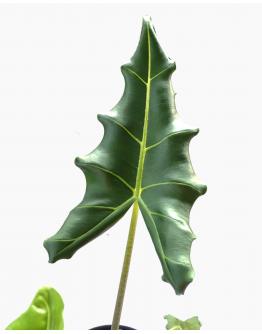 Alocasia Sarian  (A. Zebrina x A. Micholitziana)