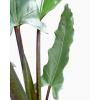 Alocasia Lauterbachiana 'Purple Sword'