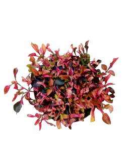 Alternanthera Red/Green