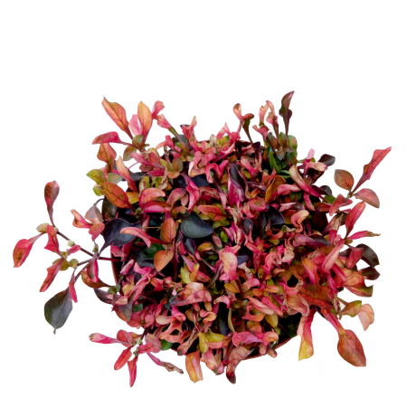 Alternanthera Red/Green