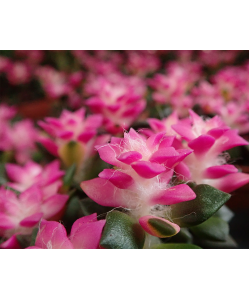 Anacampseros rufescens 'Sunrise' Pink