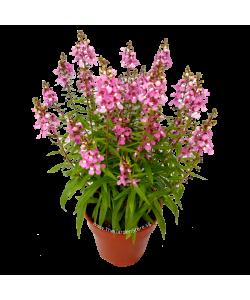 Angelonia 天使花