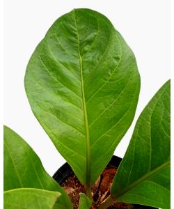 Anthurium hookeri 'Jungle Bush' Round Leaves
