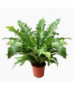 Asplenium Nidus 'Saw Tooth' Bird Nest Fern