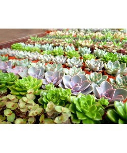 Assorted Mini Succulents P55mm