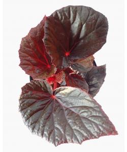 Begonia 'Burning Bush'