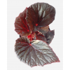 Begonia 'Burning Bush'