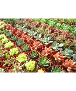 Assorted Mini Succulents P55mm