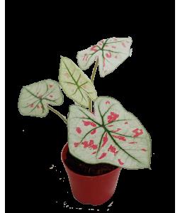 Caladium Strawberry Star