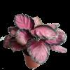 Calathea Picturata 'Crimson'