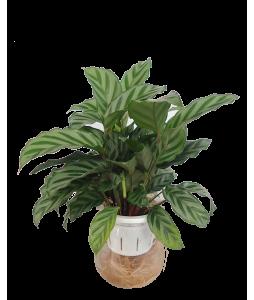 Calathea Concinna Self-Watering Pot