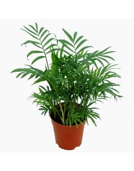 Chamaedorea elegans Palm
