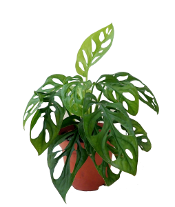 Cheese Plant Monstera