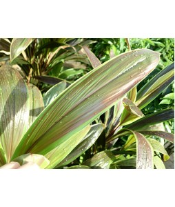 Cordyline Chocolate Queen 4ft