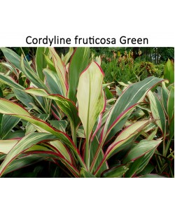 Cordyline Red Tall
