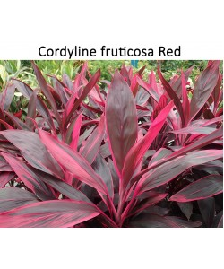 Cordyline Tall