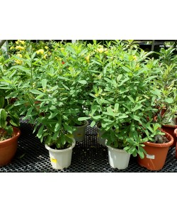 Crotalaria retusa Rattleweed