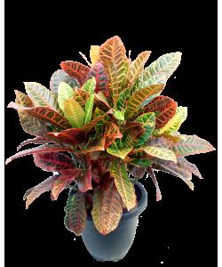 Croton Petra 洒金榕