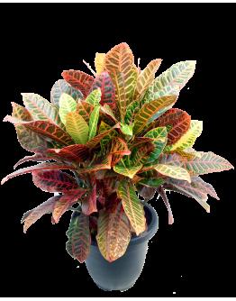 Croton Petra - Codiaeum Variegatum 'Petra'