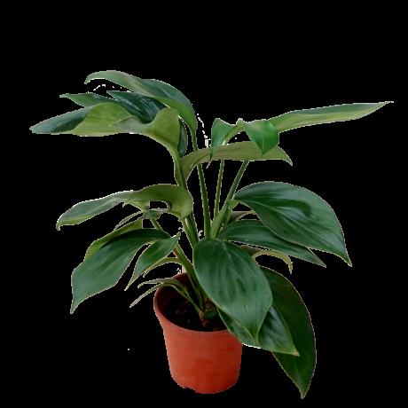 Epipremnum Pinnatum Dragon Tail