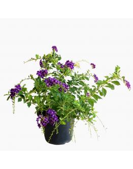 Duranta Purple Flowers with white edge