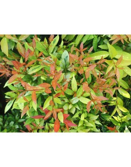 Eugenia Syzygium myrtifolium 红楠木 (PolyBag)