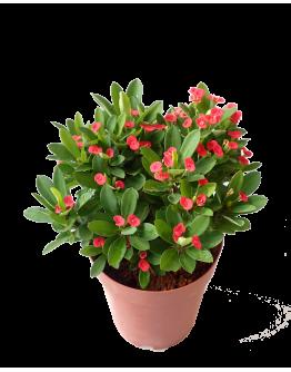 Euphorbia Milli 88