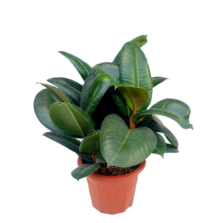 Ficus Elastica Green Rubber Plant 2ft