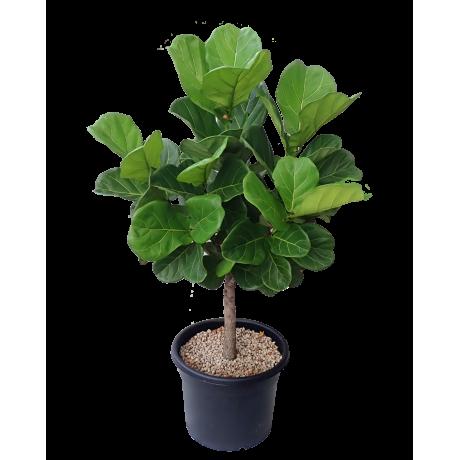 Ficus Lyrata (Single Stem ) in Teku Black Pot