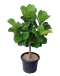 Ficus Lyrata (Single Stem ) in Teku Black Pot