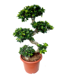 Ficus Ginseng Bonsai S shape