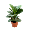 Ficus Lyrata 琴叶榕