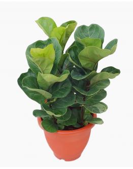 Ficus Lyrata (3 in 1)