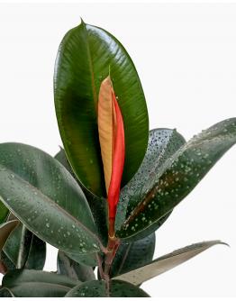 Ficus Elastica Green Rubber Fig
