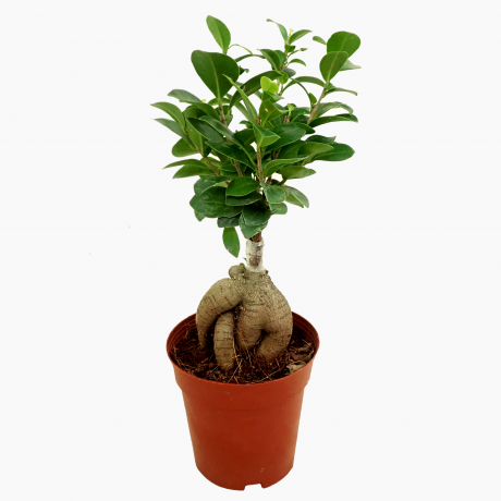 Ficus Ginseng Bonsai Grafted - Small
