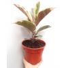 Ficus Elastica Tineke Variegated