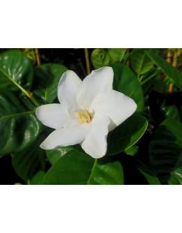 Gardenia Cape Jasmine