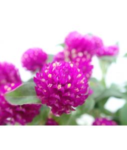 Gomphrena 'Buddy Purple' 千日紅
