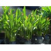 Heliconia Nickeriensis (Polybag) 1m