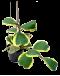 Hoya Kerrii Variegated Sweetheart (Hanging)