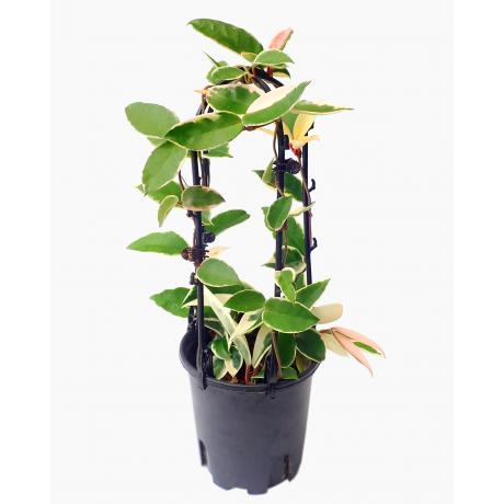 Hoya Carnosa Variegata Tricolor with Trellis