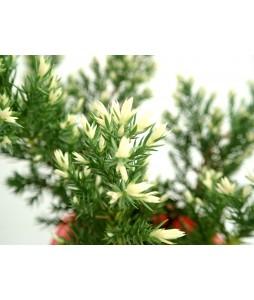 Juniper Pine Variegated leaves (Red Colour Pot)